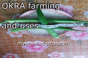 Okra farming