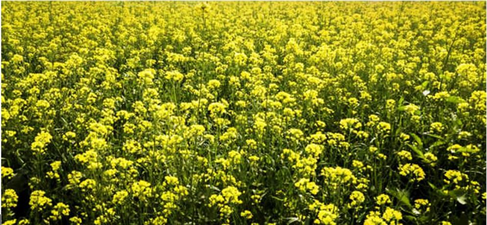 MUSTARD - farming, uses and health benefits - MyKnowledgeBase.in